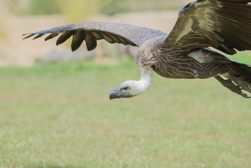 Vulture. An African Vulture; one of natures scavengers; gliding low to the ground, looking for a tasty meal stock photo