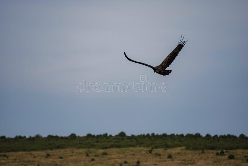 Vulture bird Maasai Mara National Reserve Kenya Africa.  stock images