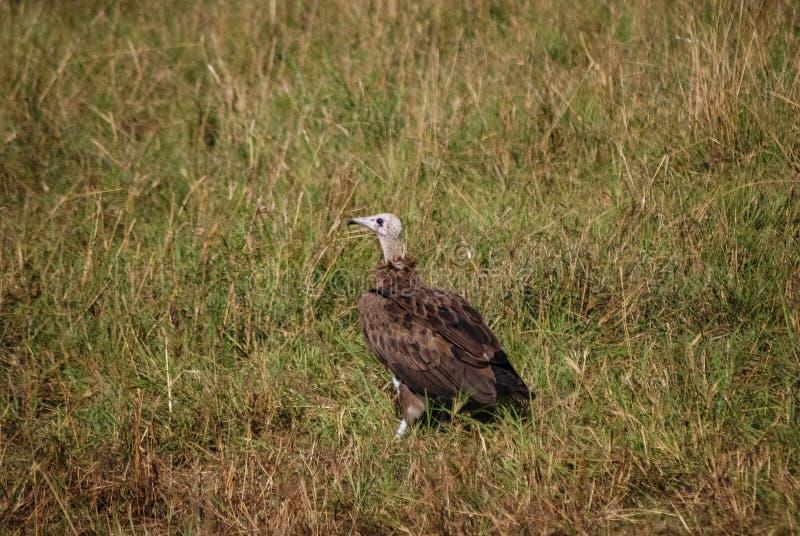 Vulture bird Maasai Mara National Reserve Kenya. Vulture bird Maasai Mara National Reserve Kenya Africa royalty free stock photo