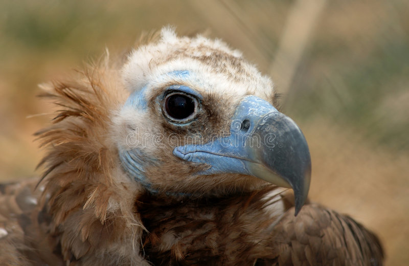 Vulture with blue face stock images