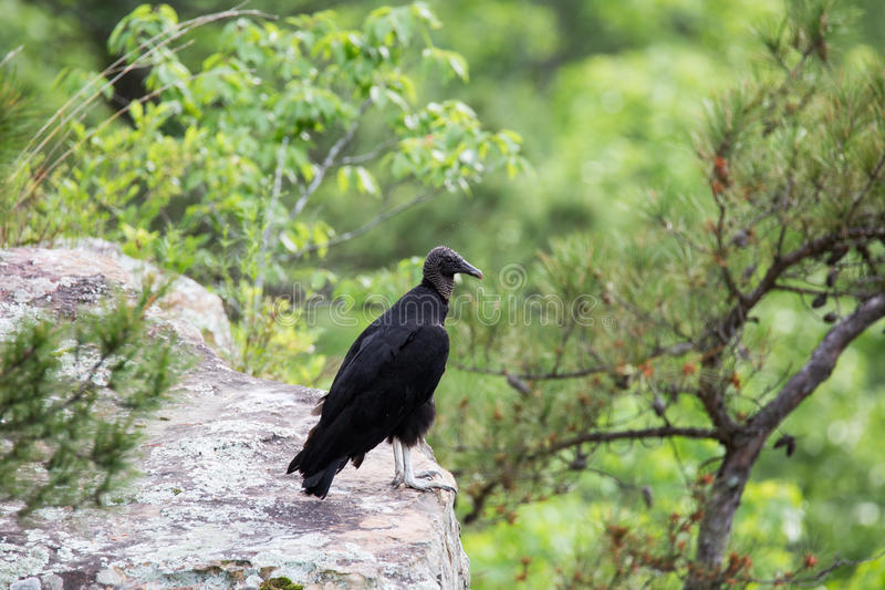 Vulture Buzzard bird on ledge royalty free stock images
