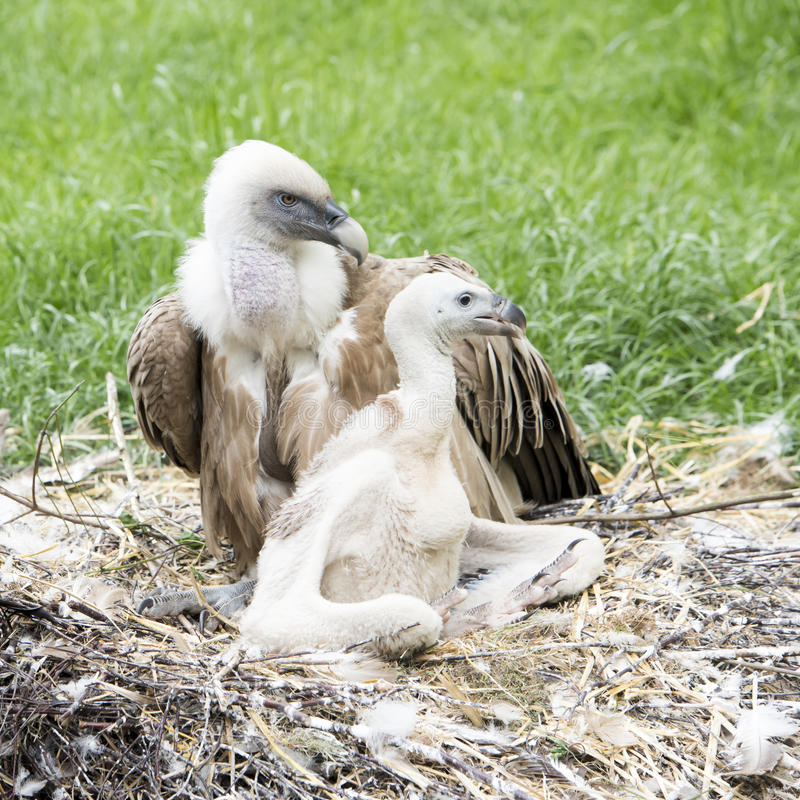 Vulture with chick. Vulture mother guiding the chick royalty free stock image