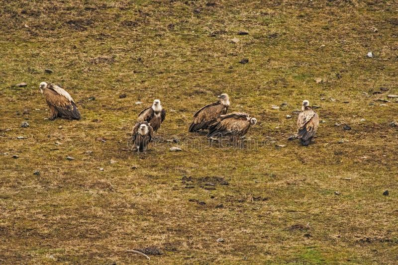 Vulture family at a meeting. Vulture family at a meeting on yellow grass stock image