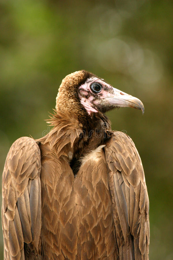 Vulture. Feathers tree beak gambia carrion scavengers wings fly circling Gyps africanus chewa choyo stock photos