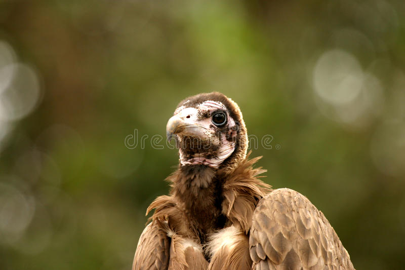 Vulture. Feathers tree beak gambia carrion scavengers wings fly circling Gyps africanus chewa choyo royalty free stock photo