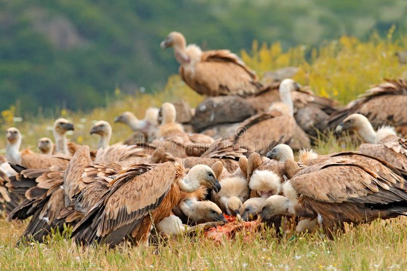 Vulture fight in nature. Griffon Vulture, Gyps fulvus, big bird flying in the forest mountain, nature habitat, Madzarovo, Bulgaria royalty free stock image