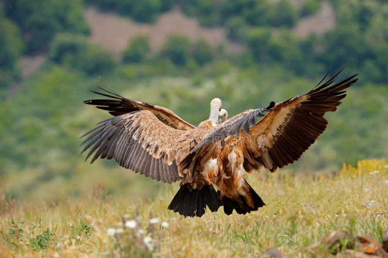 Vulture fight in nature. Griffon Vulture, Gyps fulvus, big bird flying in the forest mountain, nature habitat, Madzarovo, Bulgaria royalty free stock images