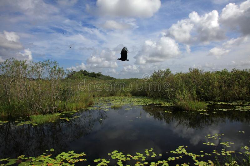 A vulture flies over a lake in Everglades National Park, FL. stock photography
