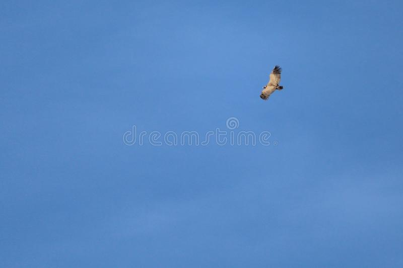 Vulture flying through the heavens waiting for the prey stock photo
