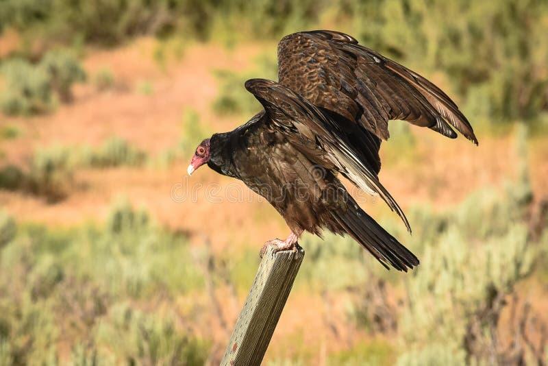 Vulture in Heraldic Pose. Warming In Morning Sun stock photos