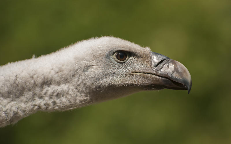 Download Vulture stock photo. Image of vulture, vertebrate, majesty - 33369156