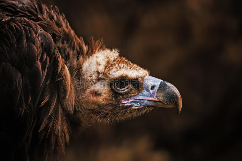 Vulture, large raptorial bird. Portrait of cinereous vulture (Aegypius monachus) on a dark background royalty free stock images