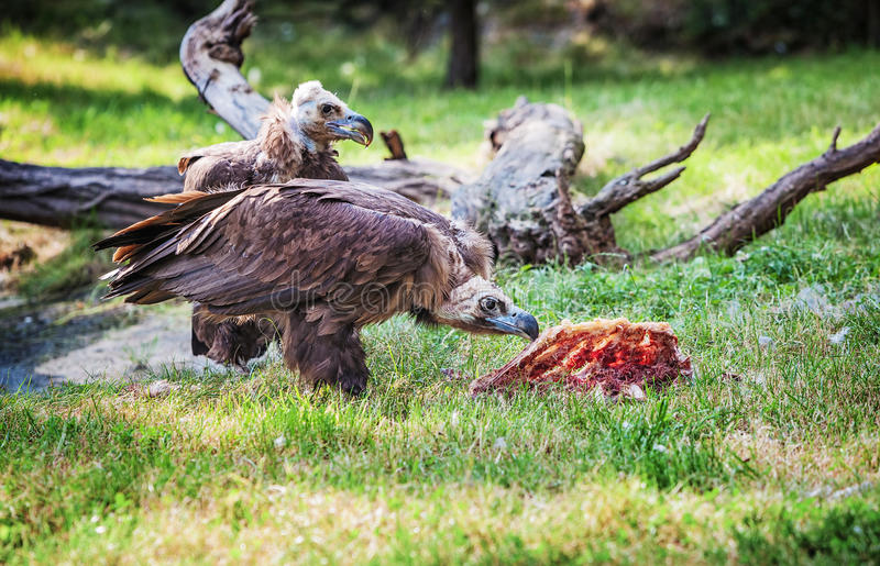 Vulture, a large raptorial bird. Two cinereous vultures (Aegypius monachus) by feeding stock photos
