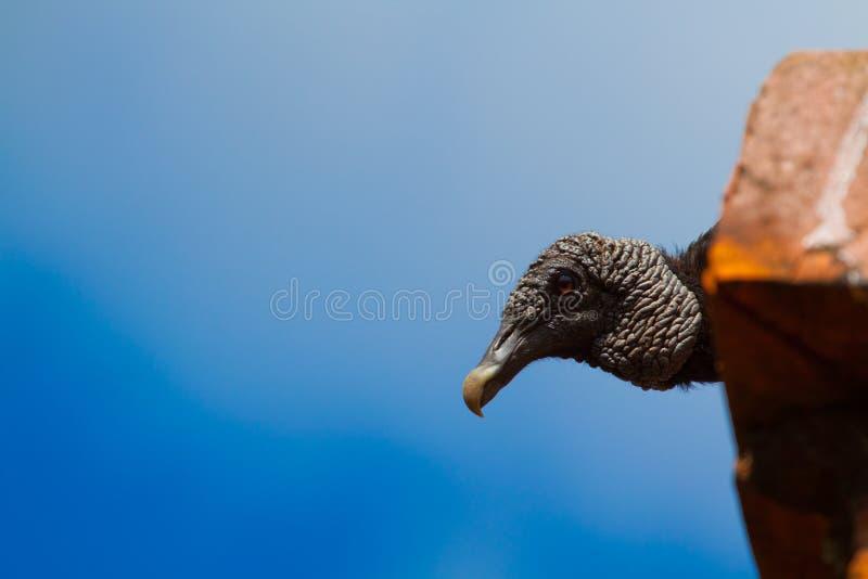 Download Vulture Ledge stock image. Image of turkey, natural, wild - 20228209