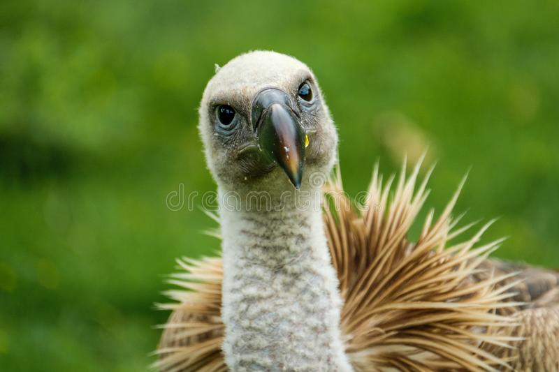 Vulture looks very surprised. Ruppell`s Griffon vulture in the Rotterdam Zoo Blijdorp Zoo, the Netherlands royalty free stock photography