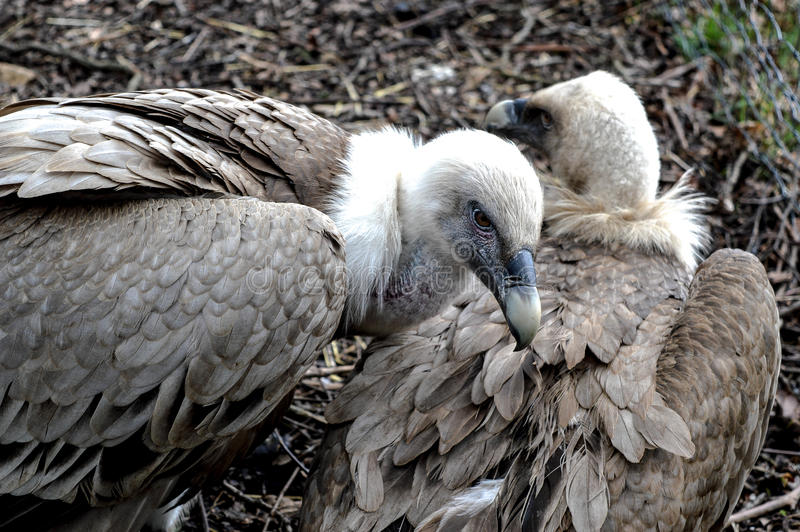 Vulture male looking out for hes mate royalty free stock photo