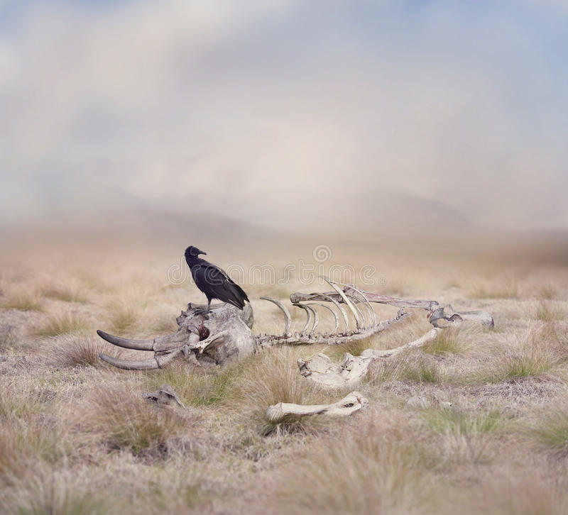 Vulture perches on Elephant Skeleton. Black Vulture perches on Elephant Skeleton stock photography