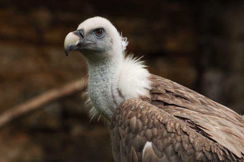 Vulture portrait stock photography