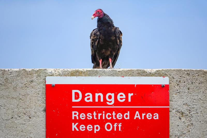 Vulture on Restricted Area Danger Sign. Turkey Vulture cathartes aura perched above a sign mounted to a concrete wall that reads Danger - Restricted Area - Keep stock photos