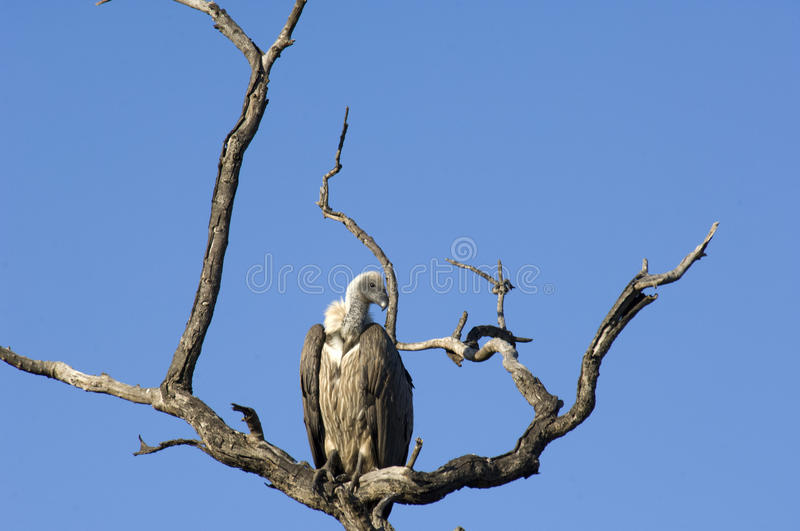 Download Vulture in South Africa stock photo. Image of carcass - 32400034