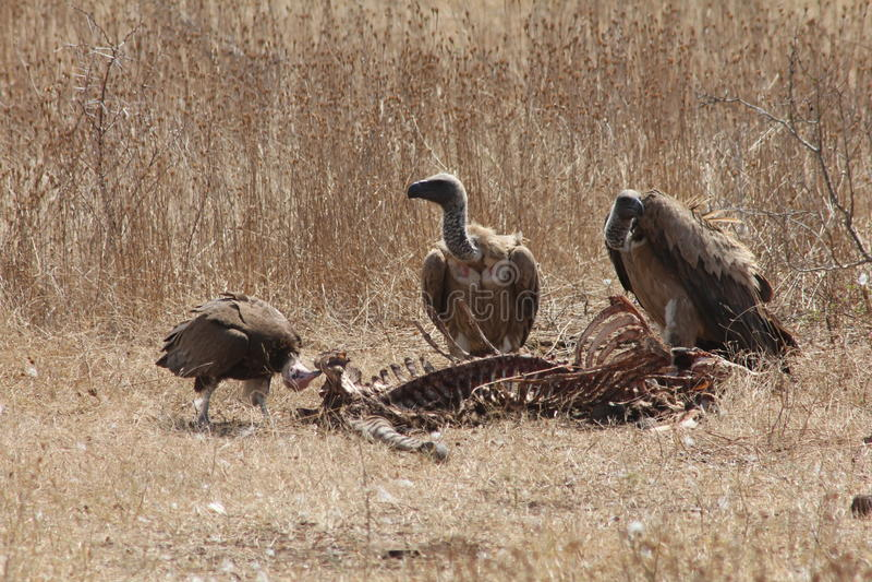 vultures foto de stock