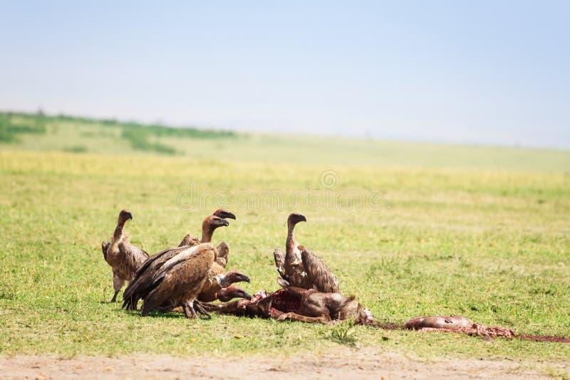 Vultures flock eating kill at African savannah. The white-backed vultures flock eating kill at African savannah, Kenya stock photo