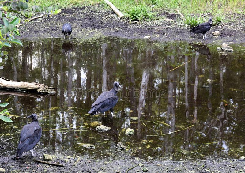 Vultures gathered at waterhole in Everglades along Monroe Junction Florida. Vultures resting at waterhole in Everglades along Monroe Junction Florida stock photo