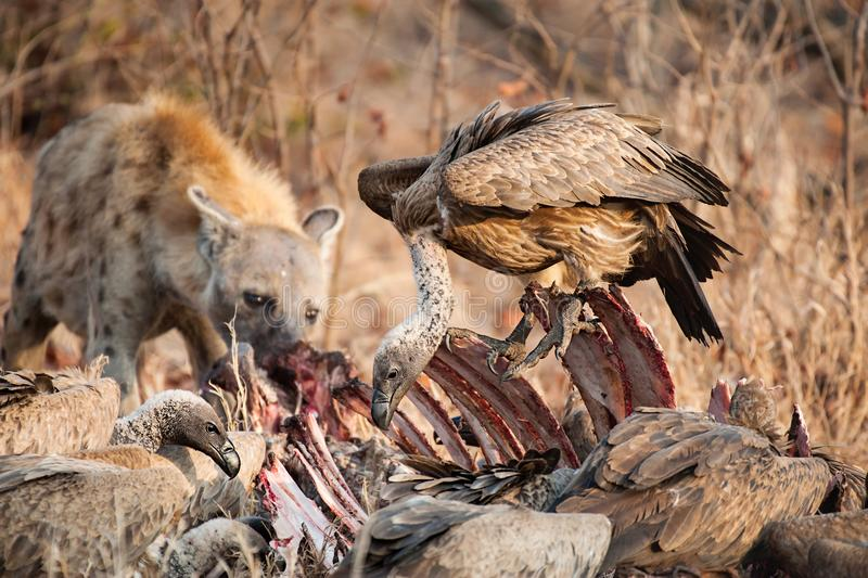 Vultures and Hyena. Spotted Hyena - Crocuta crocuta and Cape vultures - Gyps coprotheres on a killed buffalo. The photo shows two scavengers on a prey stock photo
