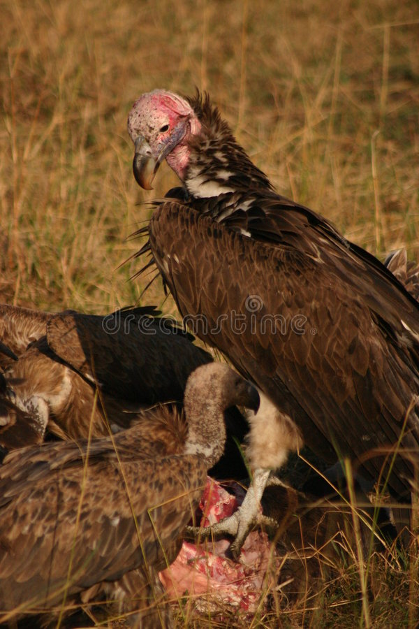 Vultures on a kill royalty free stock photography