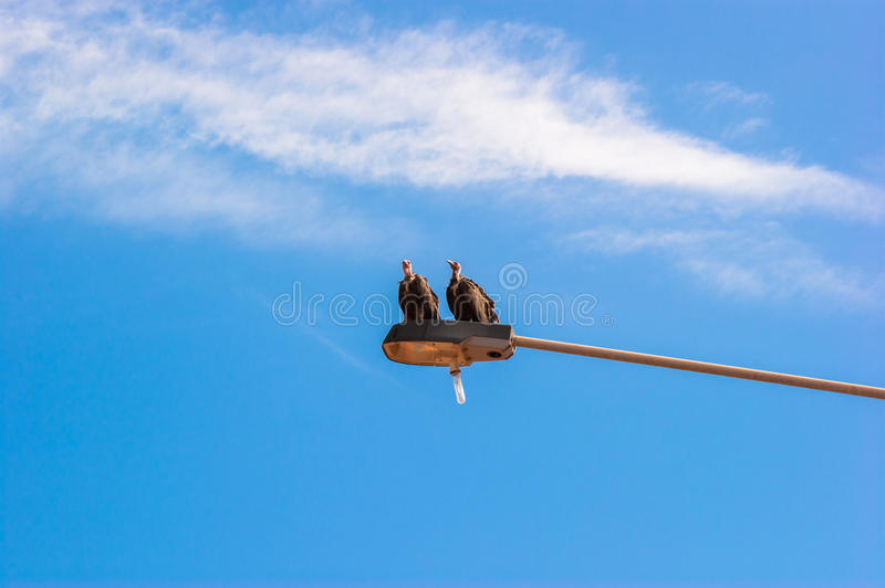 Vultures on a Lamp Post. Vultures relaxing on a lamp post in Gambia royalty free stock photography