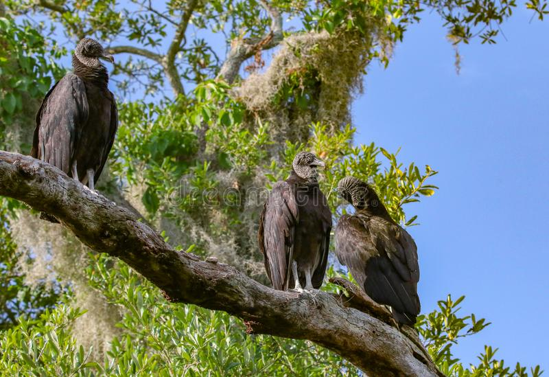 Vultures. Natures undertakers resting on a branch stock photo