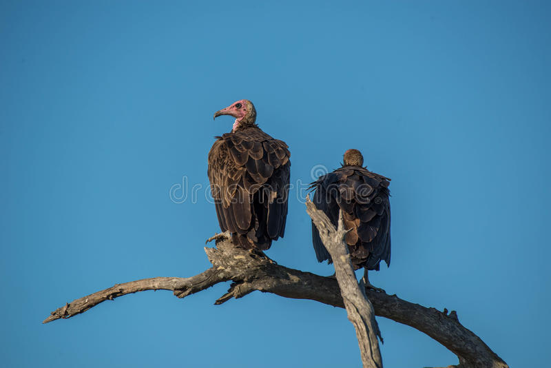 Vultures. A pair of vultures relaxing in the setting sun in Kruger National Park, South Africa stock photos