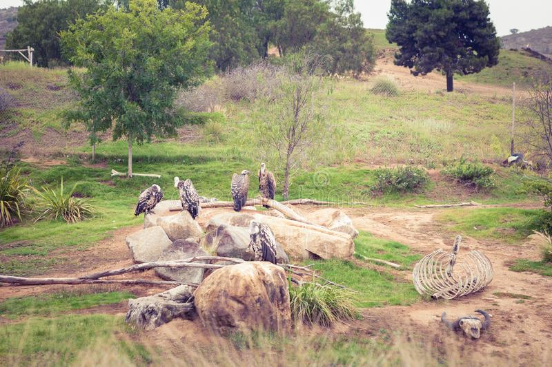 Vultures in Safari Park  San Diego CA stock photography