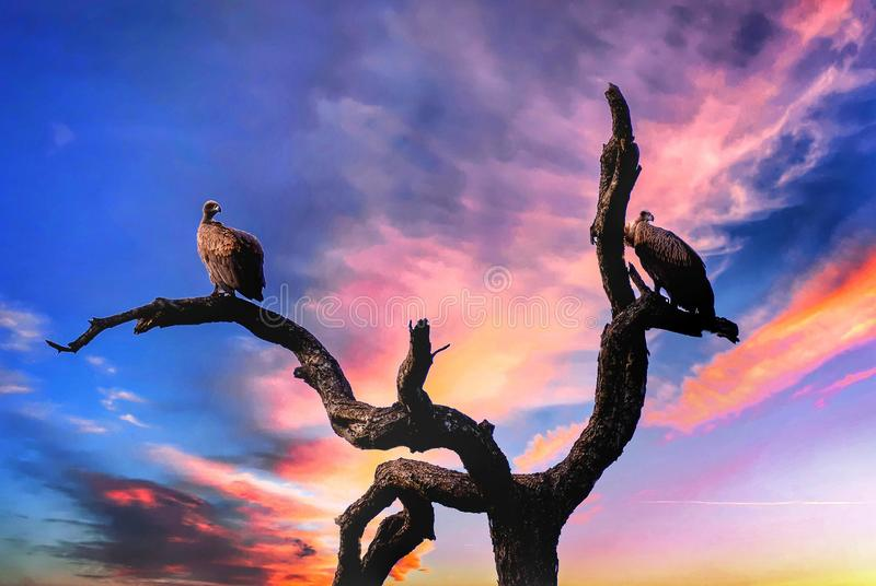 Vultures sitting on a tree with a sunset sky in the background royalty free stock photography