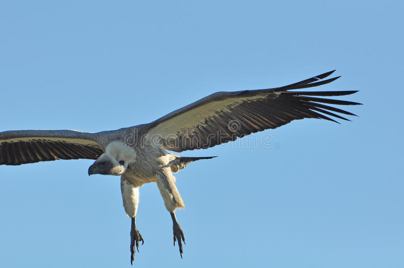 Download Vultures about to swoop stock image. Image of background - 81654959