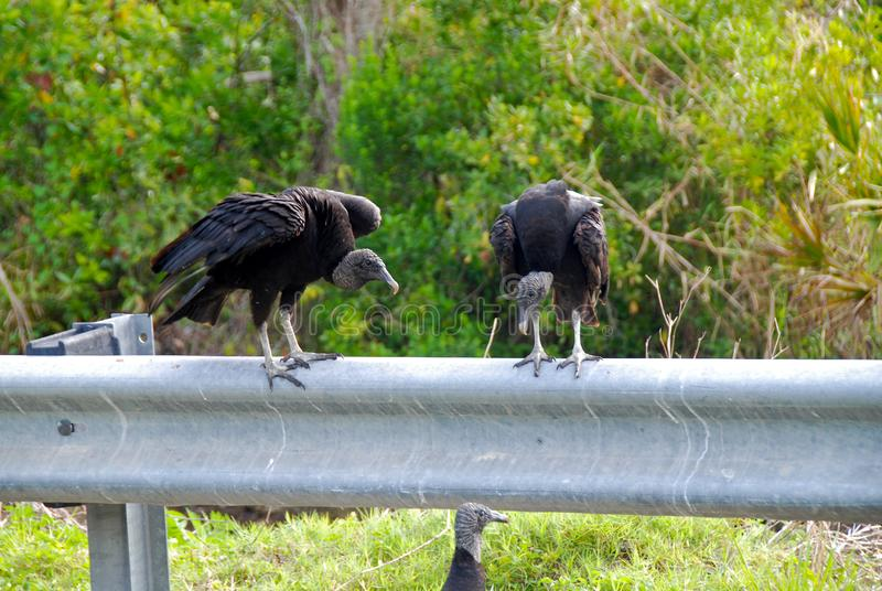 Vultures royalty free stock images