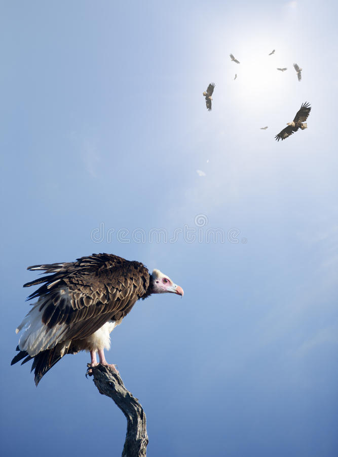 Vultures Waiting To Prey On Innocent Stock Photos