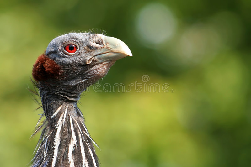 Download Vulturine guineafowl stock photo. Image of blue, plants - 2643694