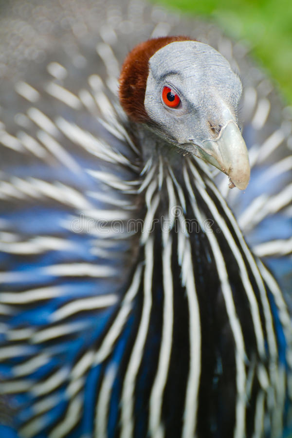 Download Vulturine Guineafowl Detail Stock Photo - Image: 26877116