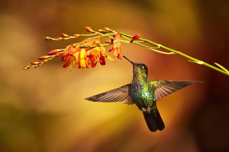 Vurig-Throated Kolibrie, Panterpe-insignis, glanzende kleurenvogel royalty-vrije stock afbeelding