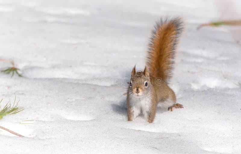 Vurige oranje staart, Rode eekhoorn op de sneeuw die van het de Lentegraan num nums zoeken om in graansneeuw van het Noordelijke  stock afbeeldingen