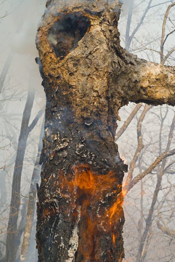 In vuur en vlam boom 9 royalty-vrije stock afbeelding