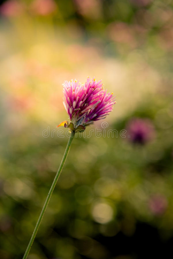Vuurwerkbloem Violette bloem in het harde zonlicht stock foto's