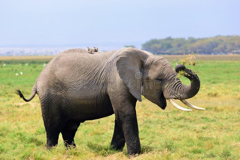 Vuxen afrikansk elefant i träsket royaltyfri fotografi