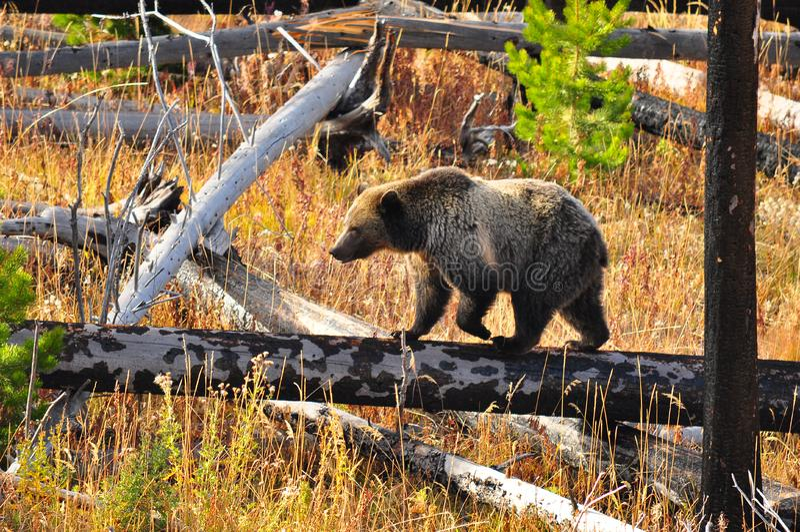 Vuxen björn på den Yellowstone nationalparken arkivfoton