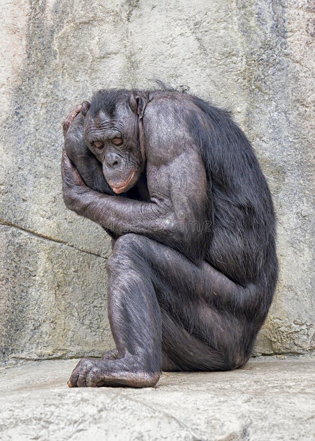 Vuxen Bonobo, i att sitta foster- position arkivfoto