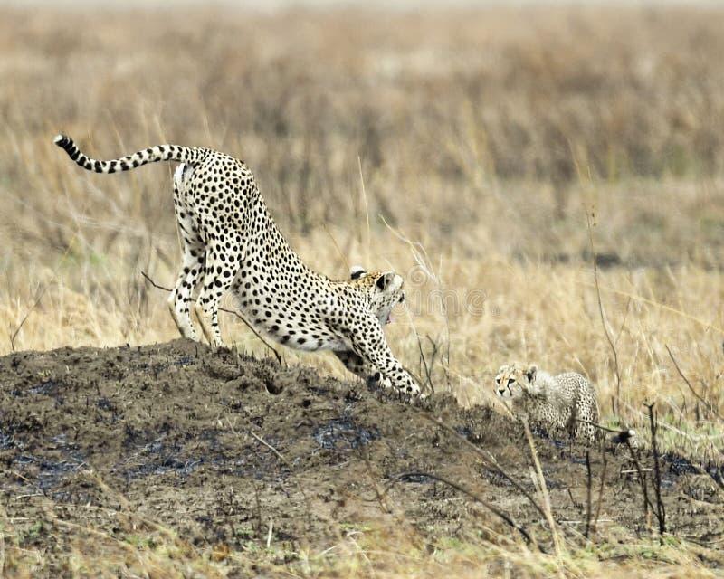Vuxen gepard med en gröngöling som sträcker på en kulle royaltyfria bilder