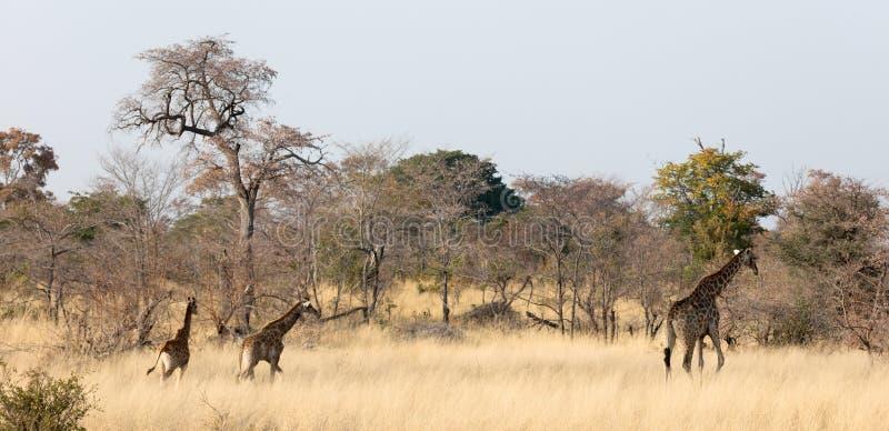 Vuxen giraff med unga camelopardalis för en Giraffa royaltyfria bilder