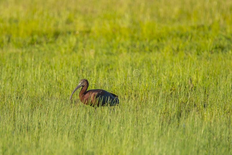 Vuxen glansig ibis i f?lt av gr?s fotografering för bildbyråer