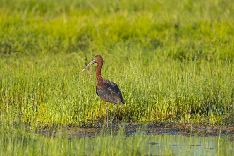 Vuxen glansig ibis som st?r p? kanten av gyttjiga landremsan royaltyfria bilder